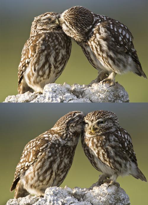dimdumlala: iri banget sama kedua pasangan burung hantu ini,ah romantis banget.cium2 :} :*
