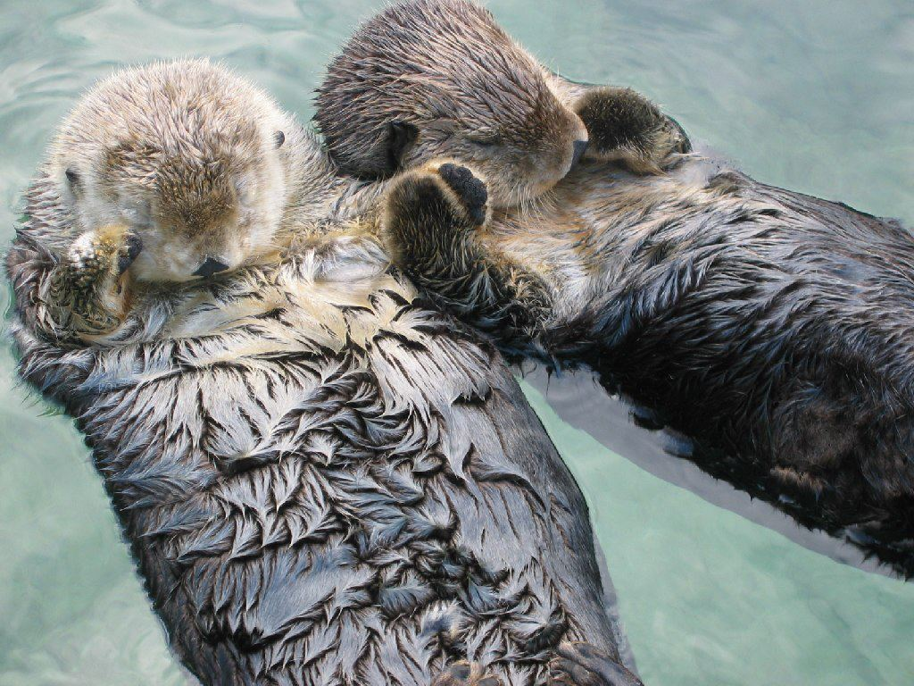 thetrevorproject: Cute animal fact of the day: Sea otters hold hands while sleeping so they don't float apart. ♥