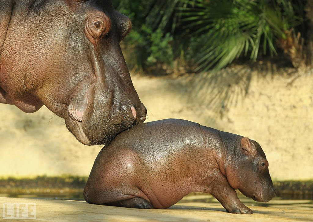 life: It's time for Photos of the Week. A baby hippopotamus lies next to its mother on the day it meets the public for the first time at the Berlin Zoo on Nov. 1. The baby was born at the zoo on Oct. 23.