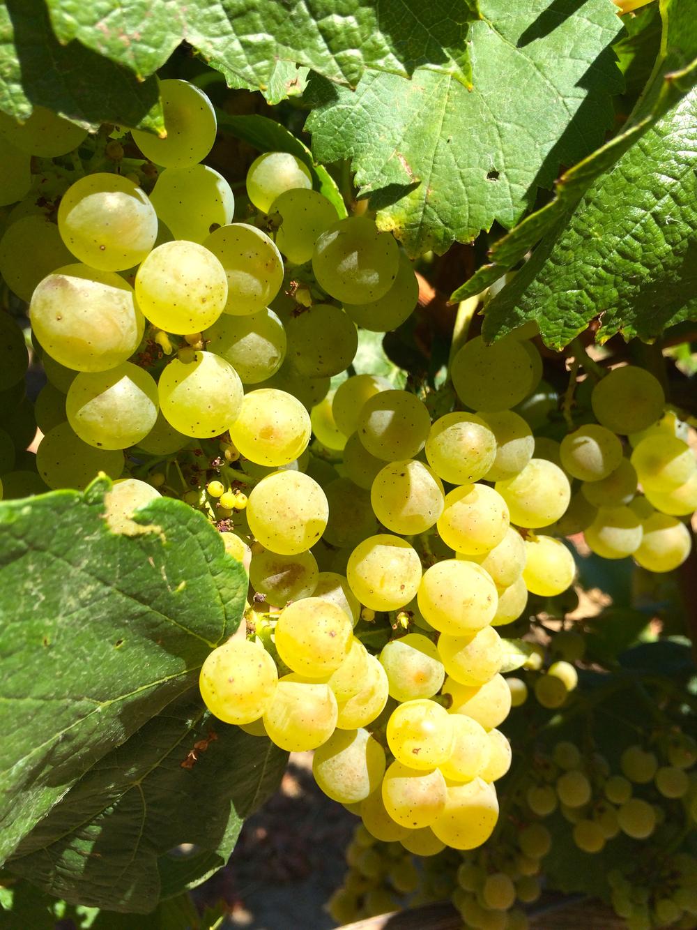 Chardonnay Grapes.jpg