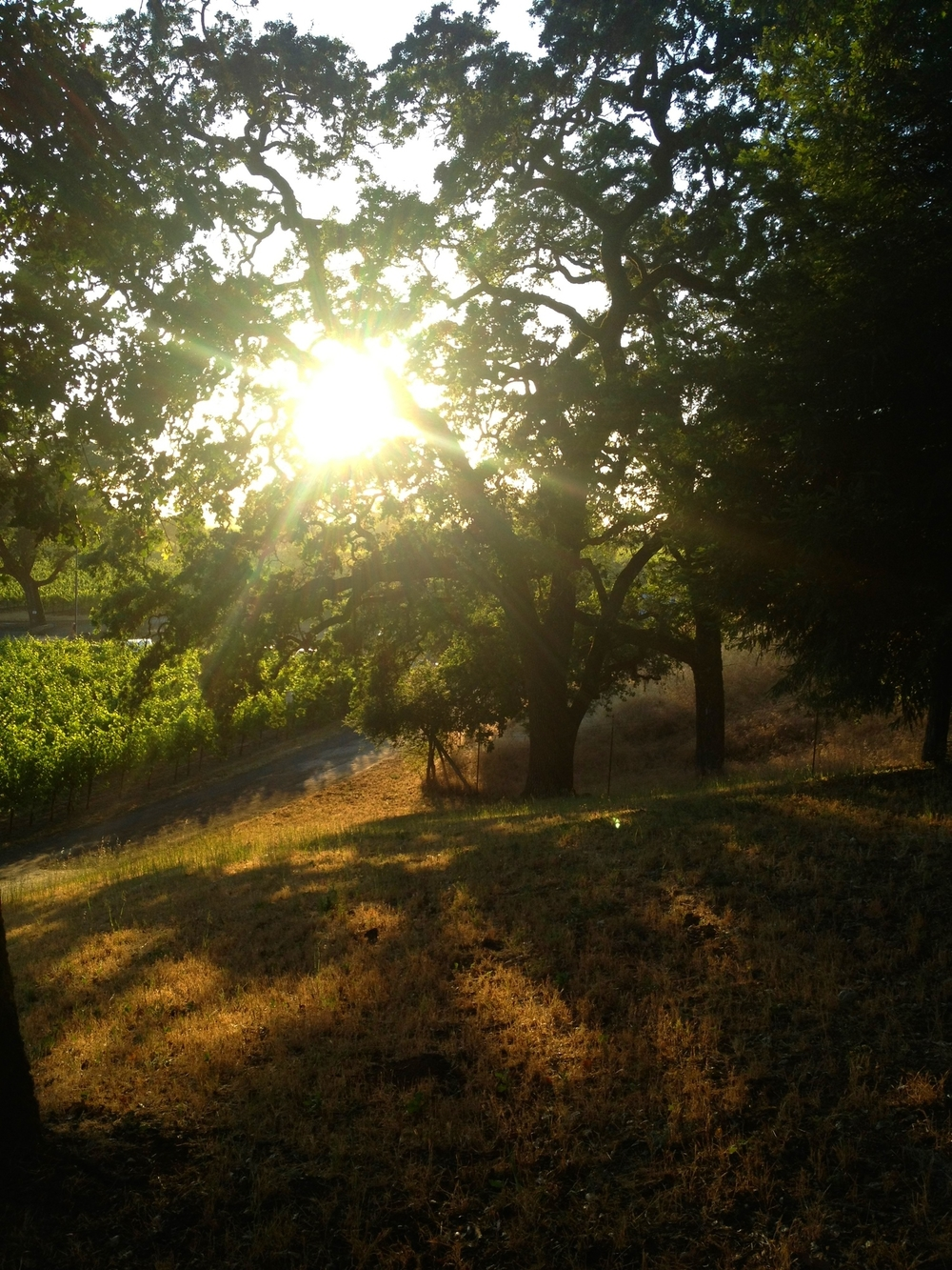 sunset through oaks.jpg