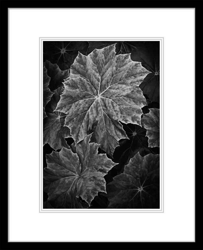 Begonia (Large Classic)