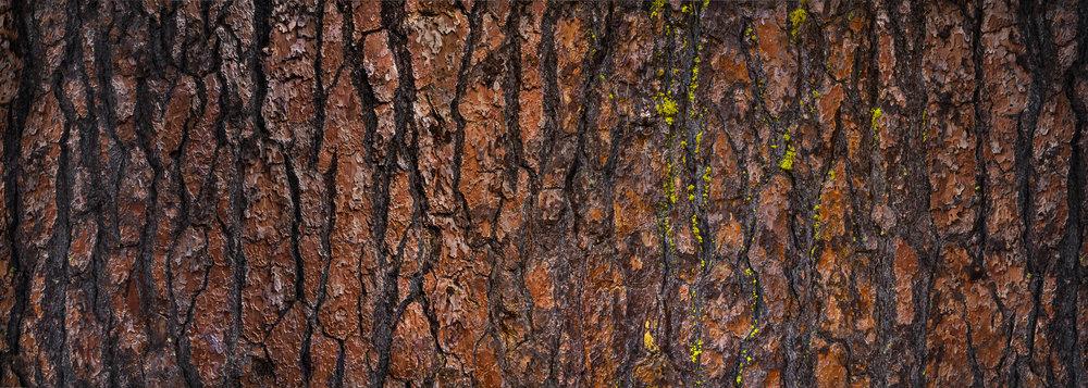 Ponderosa Pine 370°