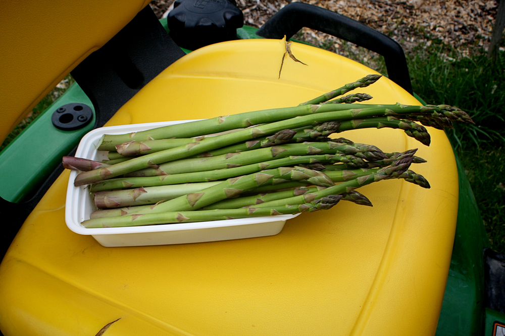 We harvested our first bunch of asparagus!