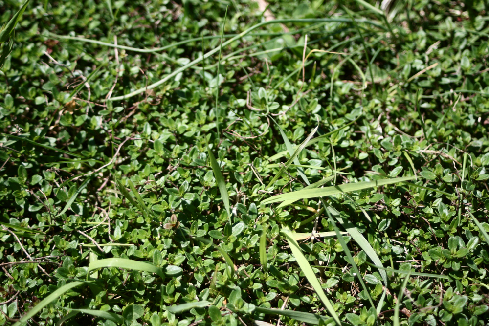 The wild thyme has again started popping up all over the yard. It sure makes for some beautifully fragrant mowing.