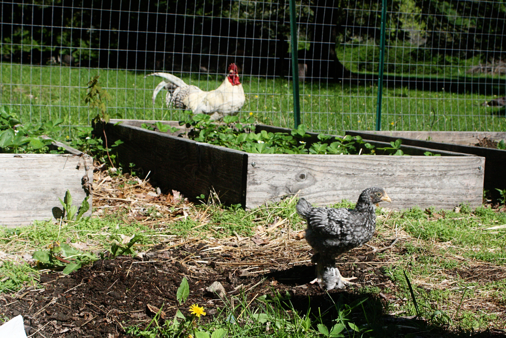 Our current rooster, however, is not so happy. I wonder if he can sense that his days are numbered.