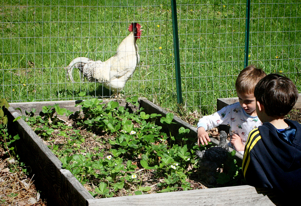 The rooster would not stop pacing the fence and crowing.