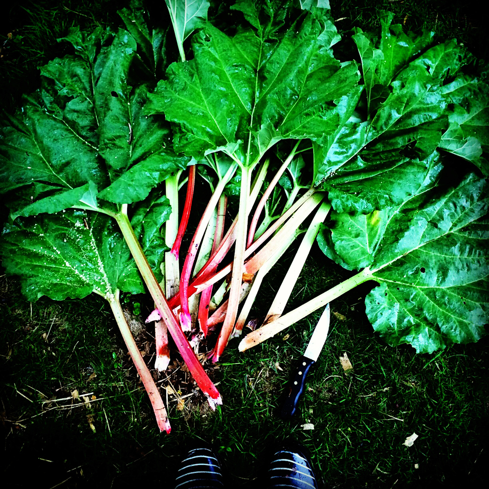 We harvested the first rhubarb of the season.