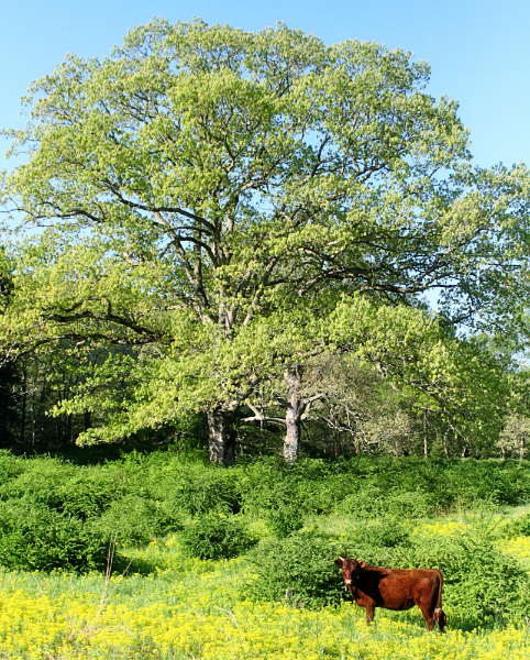 Daisy in front of the big oak tree. Dave is currently working on ridding the field (by hand, with a Kaiser blade), of the barberry bushes that have taken over.