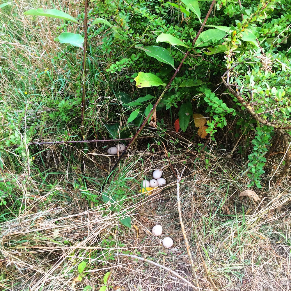 While installing the fence along the new perimeter, we found a clutch of eggs in an abandoned guinea fowl nest.