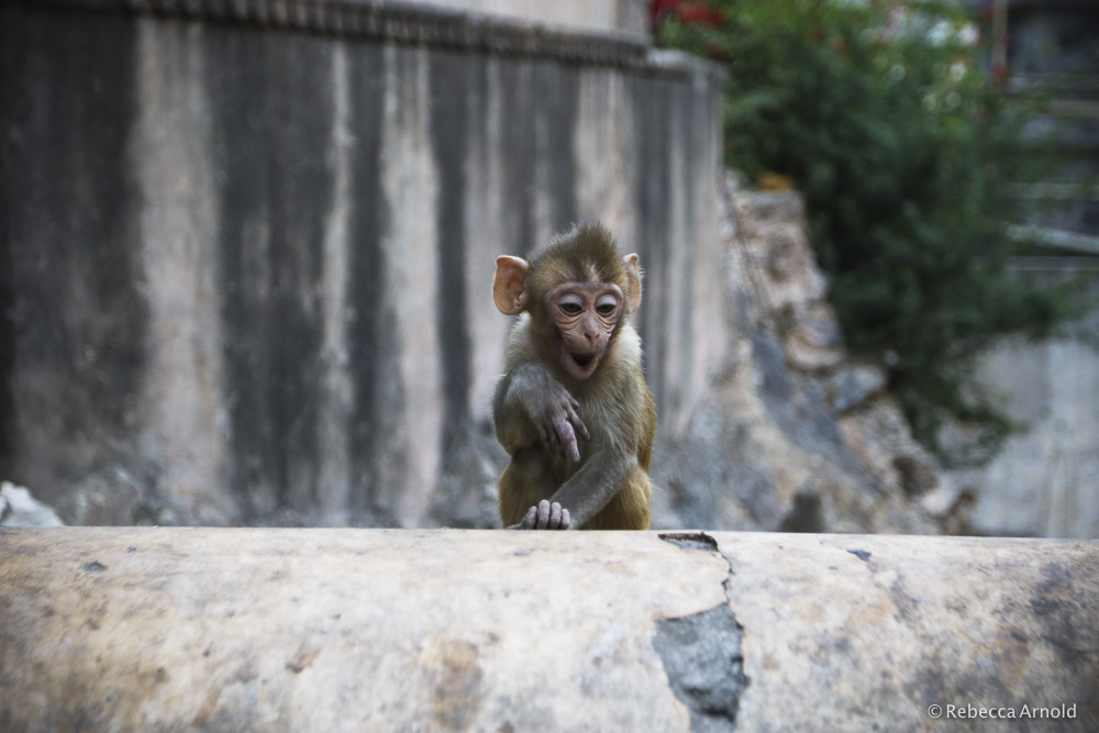 Cheeky monkey at Jaipur's Monkey Temple.