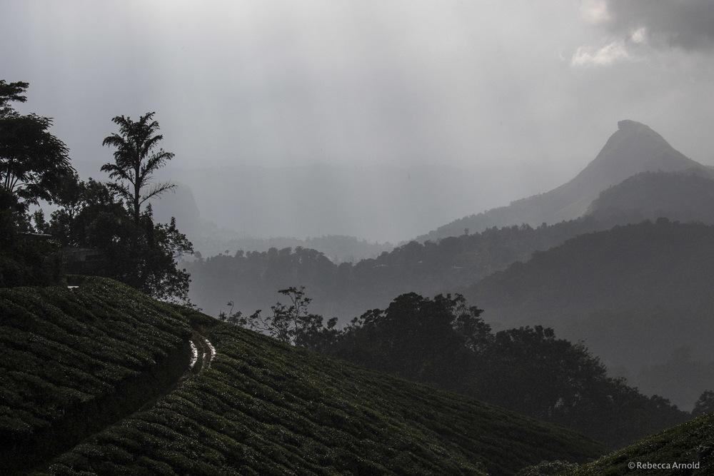 Tea Hills of Munnar, India