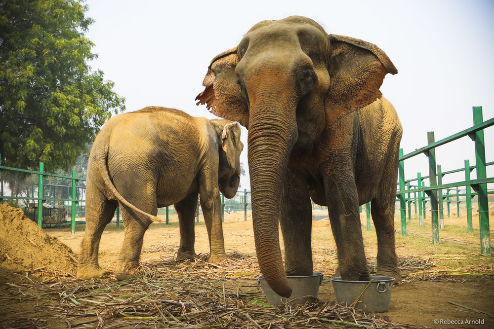 "Leg fractures, neglected, swollen feet and problematic nails are common in incoming resceuded elephants causing them great pain. Weeks after their rescue from horrible conditions at a circus, Sita enjoys a medical elephant ""pedicure,"" while her friend Mia, is nearby. See  Huff Post  for their story in late 2015."