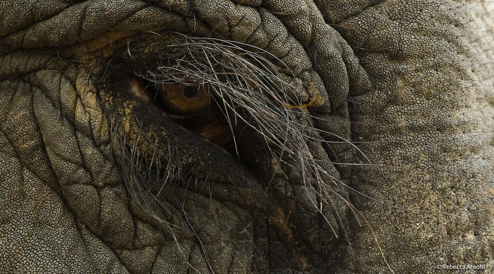 Elephant Eye, India