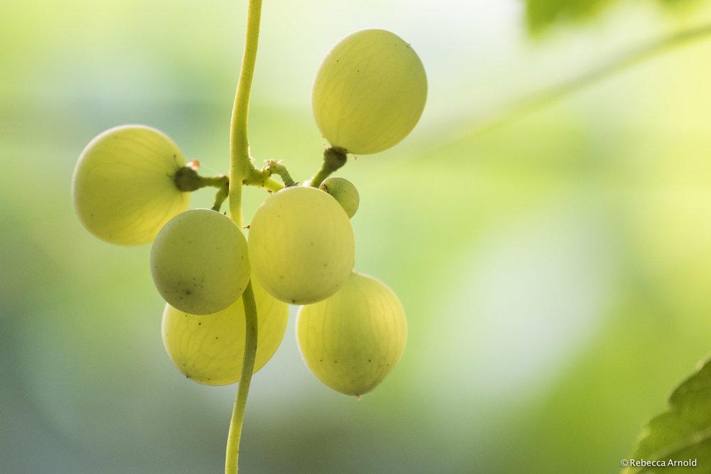 Matera Grapes, Italy