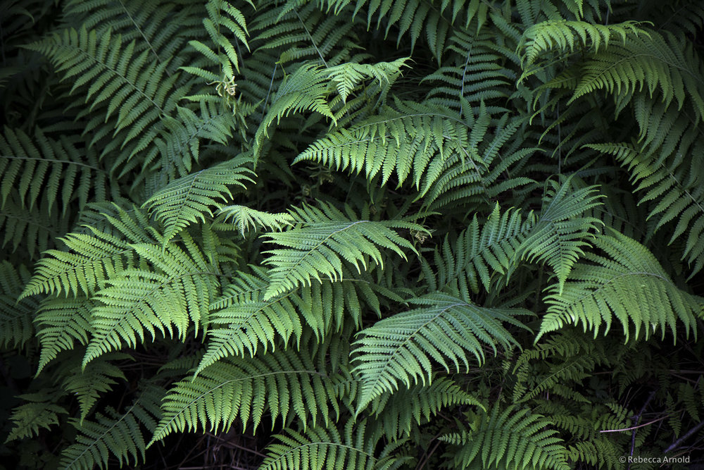 Fern Tips, Michigan, USA