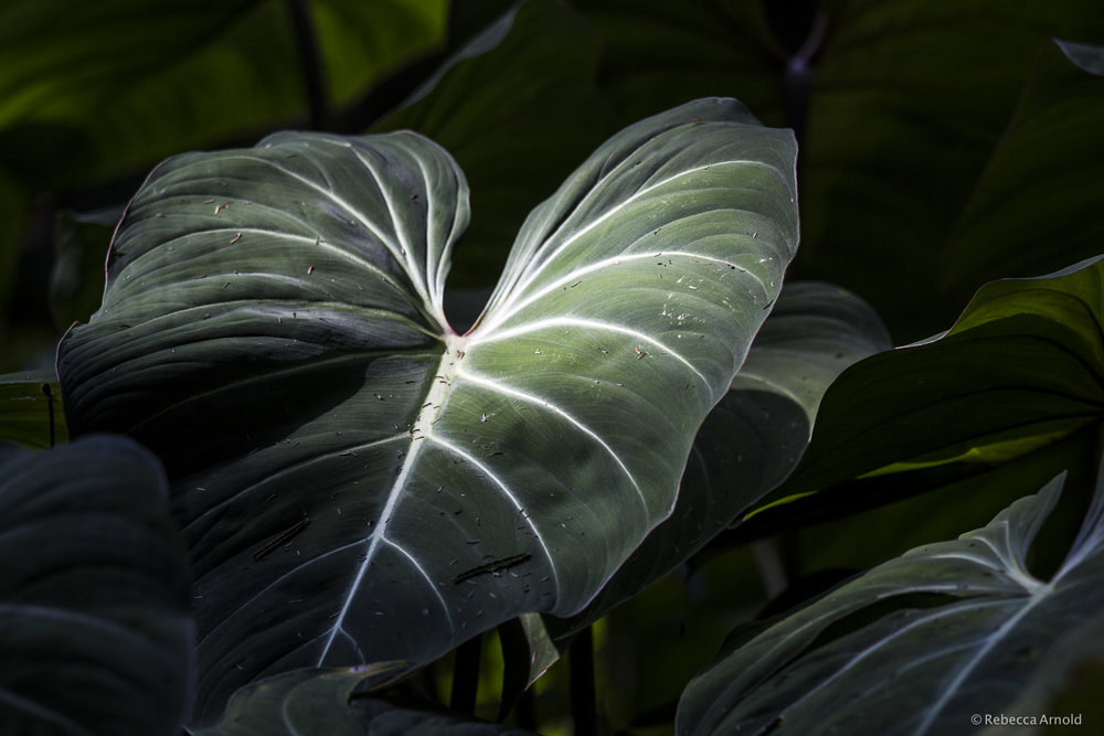 Shadow Leaf, Brazil