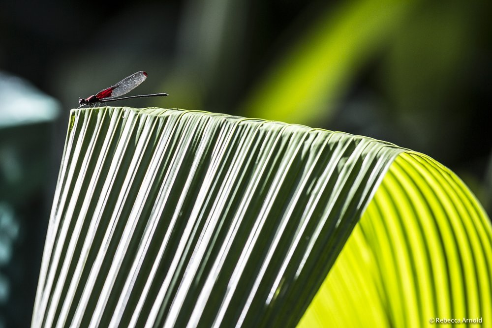 Dragonfly Perch, Brazil
