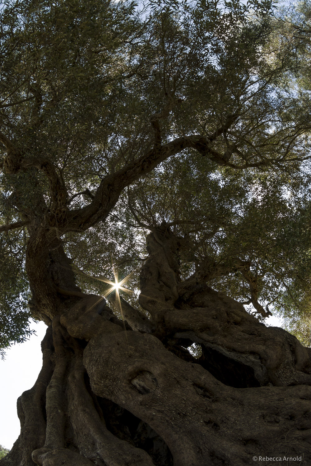 Olive Ancients, Italy