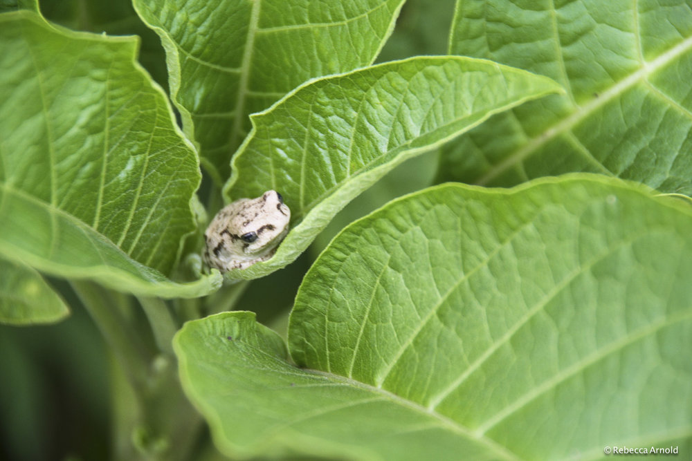 "Miniature Morning Frog, Kenya 2007   16"" x 24"" 