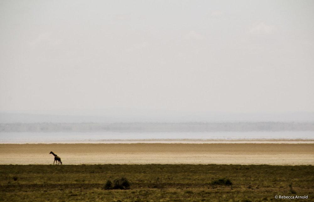 "Giraffe, Lake Manyara Basin, Tanzania 2011   16"" x 24"" | 24"" x 36"" | Custom Sizes  Archival Pigment Prints  Edition: 150"
