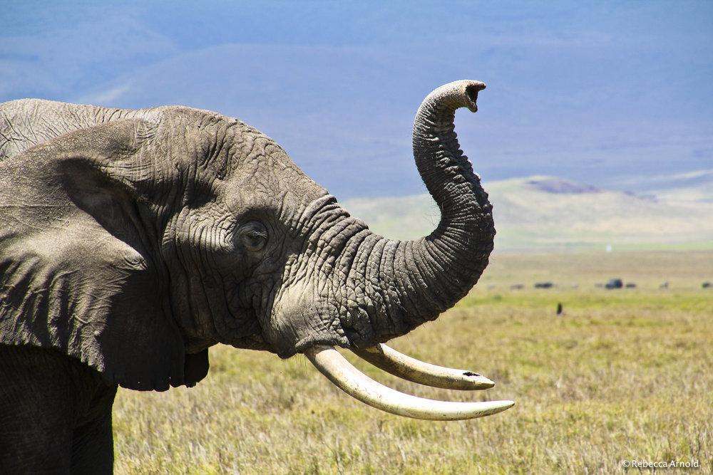 "Ngorongoro Elephant, Tanzania 2011   16"" x 24"" | 24"" x 36"" | Custom Sizes  Archival Pigment Prints  Edition: 150"