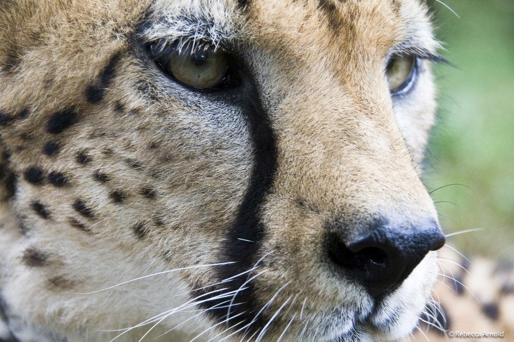 "Miss Cheetah, Kenya 2007   16"" x 24"" | 24"" x 36"" | Custom Sizes  Archival Pigment Prints  Edition: 150"
