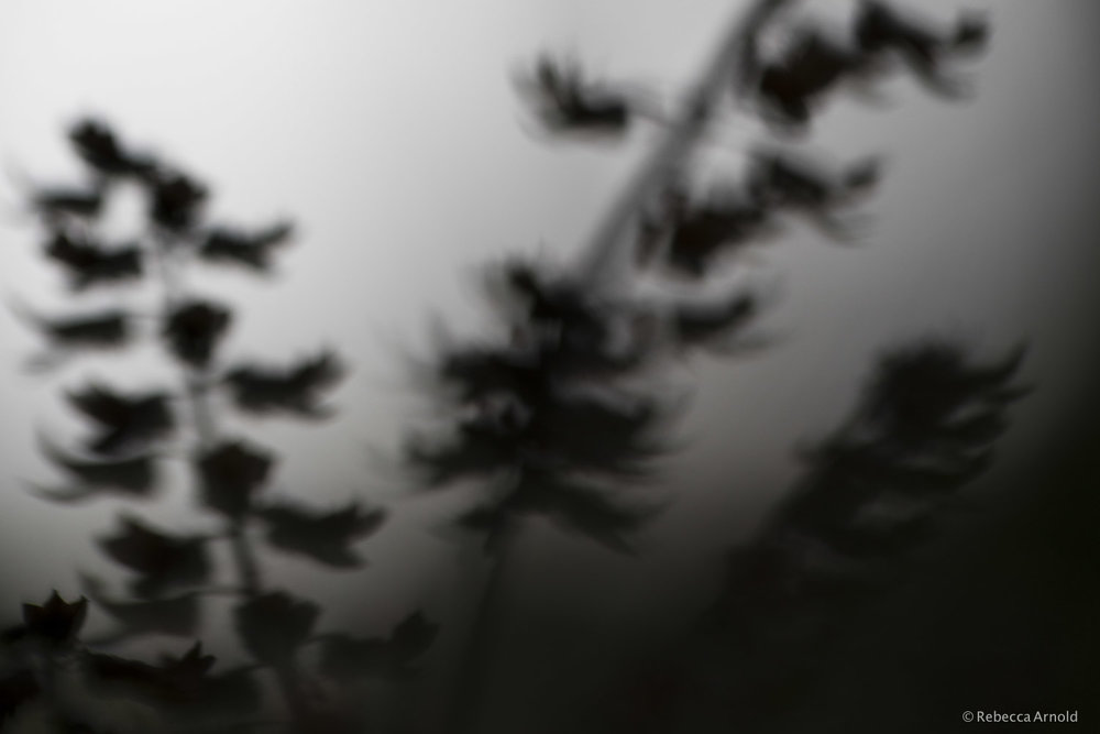 Floral Ghosts, S. Carolina, USA