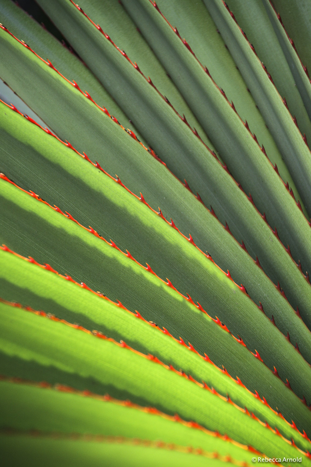 "Red Spines, Nicaragua 2009  16"" x 24"" 