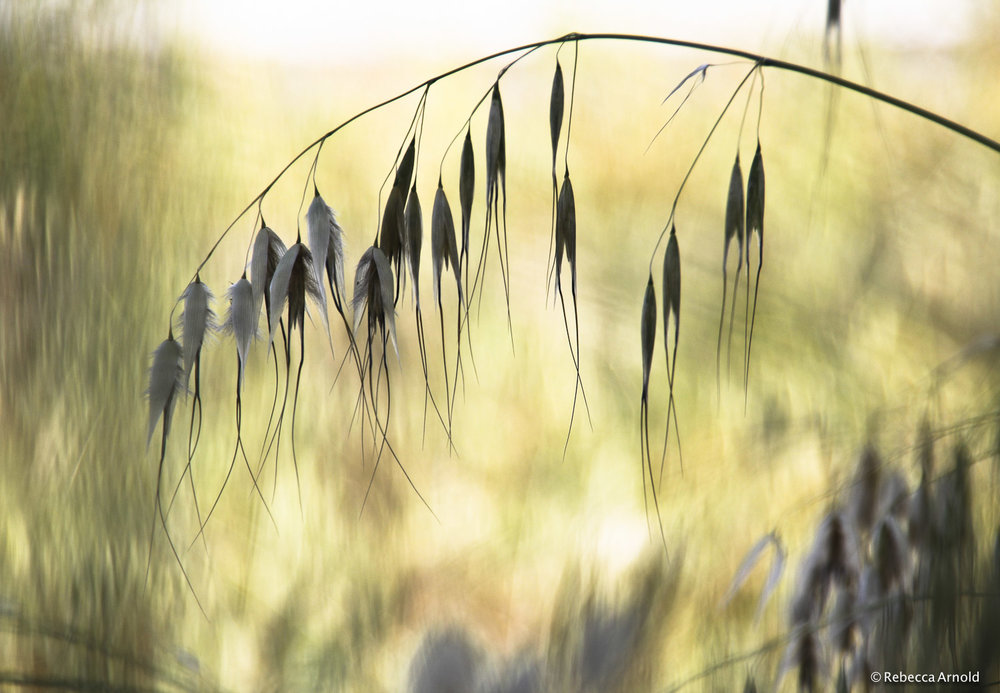 "Feathered Oats, Italy 2015  16"" x 24"" 