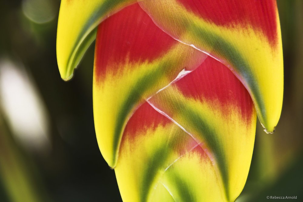 "Heliconia Afire, Kenya 2007  16"" x 24"" 