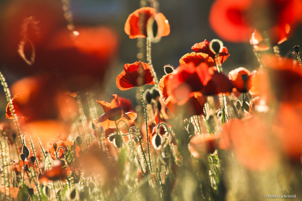 "Poppies Awash, Italy 2012  16"" x 24"" 