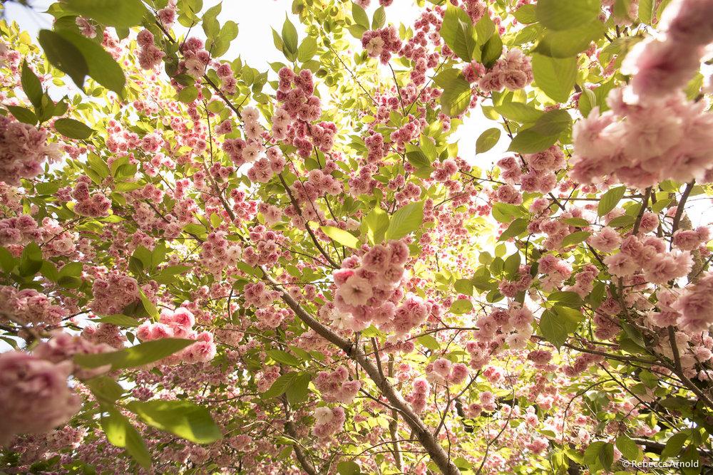 Blossom Barrage, NY, USA