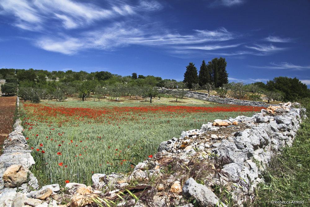 34. Poppy Orchard, Italy 2012