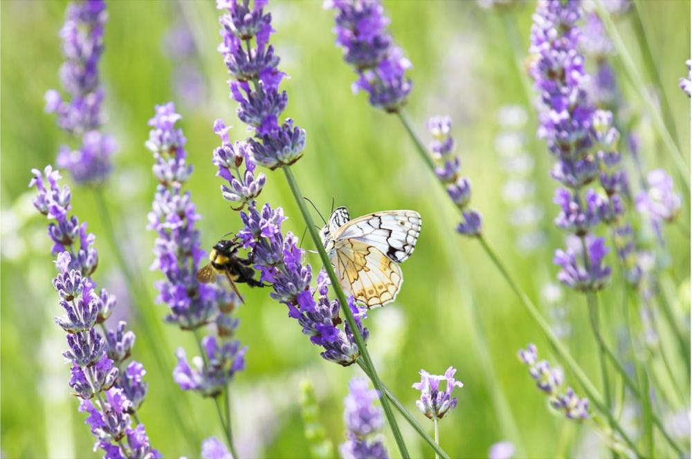 Sharing Lavender, Croatia 2015