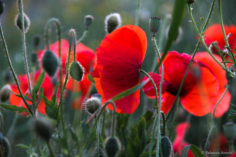 """Poppies Gossiping, Italy 2012  16"""" x 24"""" 