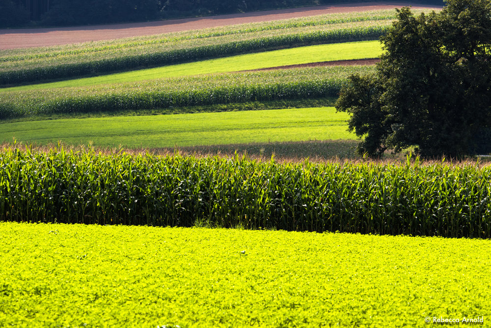 "Corn & Clover, Austria 2016  16"" x 24"" 