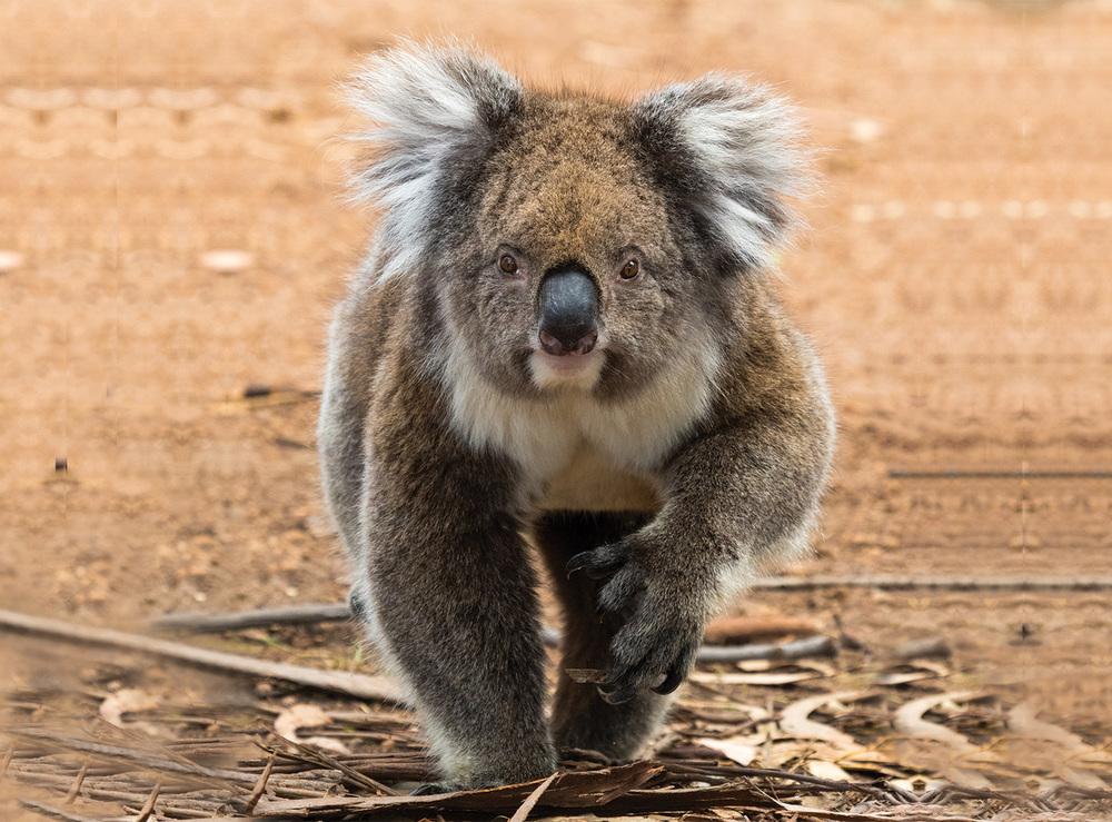 Pascal's Koala.jpg
