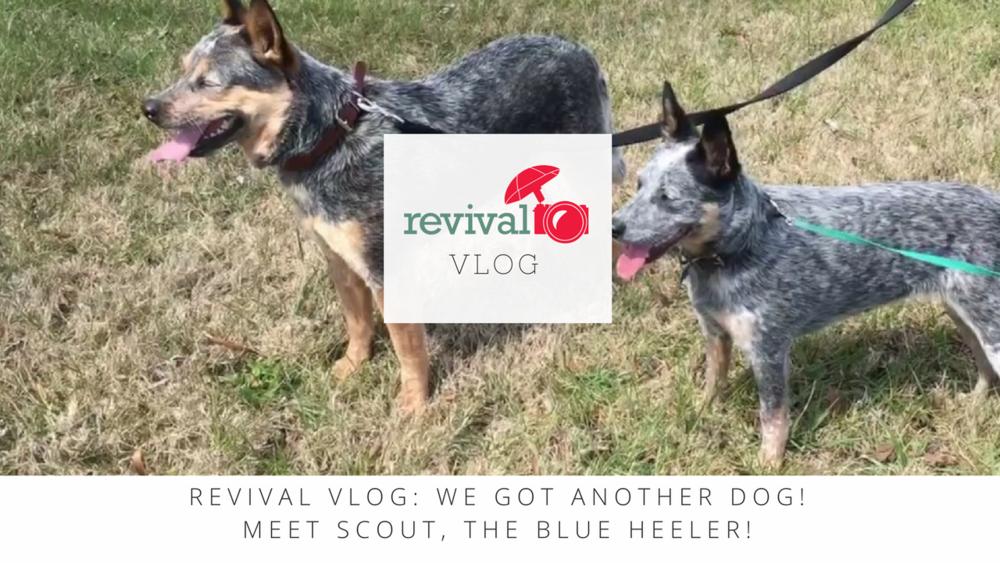 Revival Vlog: We got ANOTHER DOG! Meet Scout, the Blue Heeler!