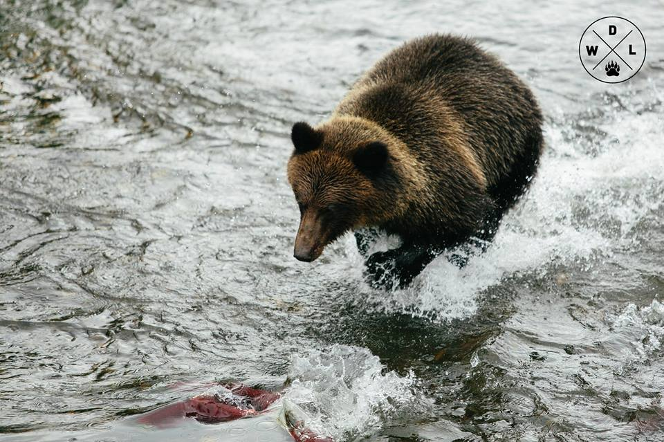 A grizzly bear chases a salmon, near Stewart, British Columbia. Photo credit: Sam Edmonds