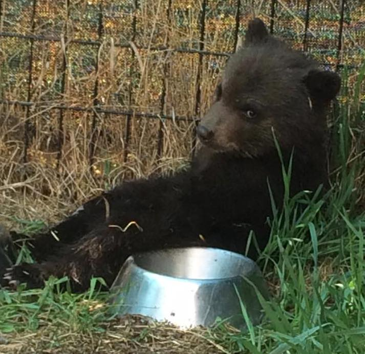 This black bear cub was killed by a Conservation Officer on May 5. Photo credit: Tiana Jackson