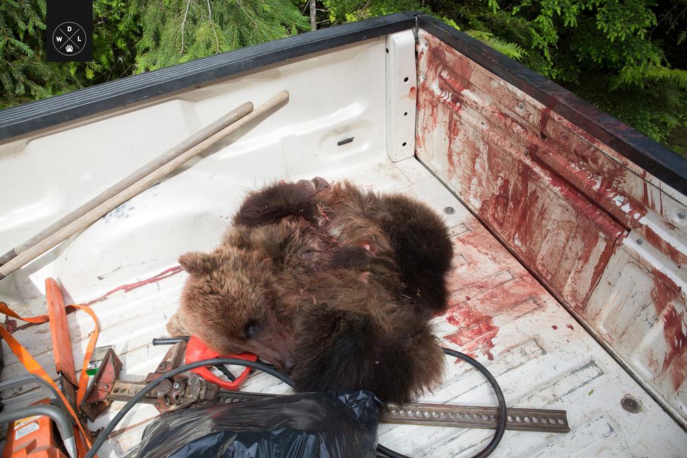 WDL Grizzly Bear002.jpg