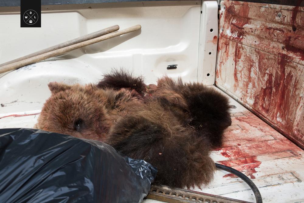 WDL Grizzly Bear003.jpg
