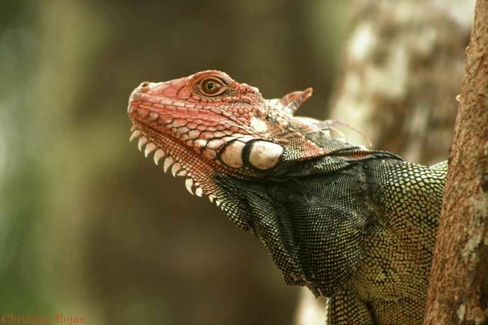alpha male iguana.jpg