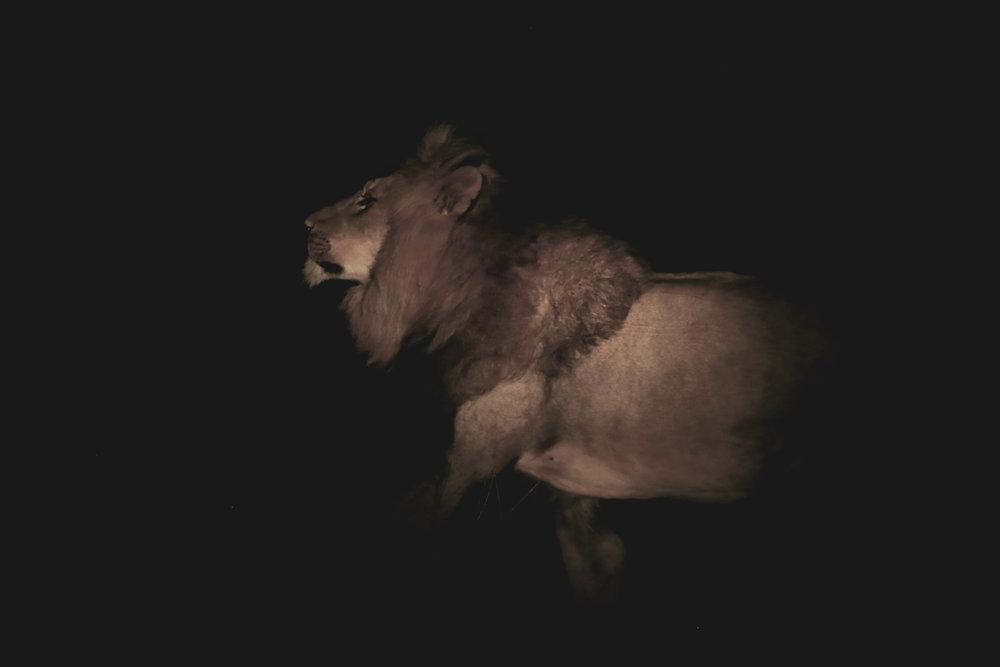 lion shadow copy.jpg