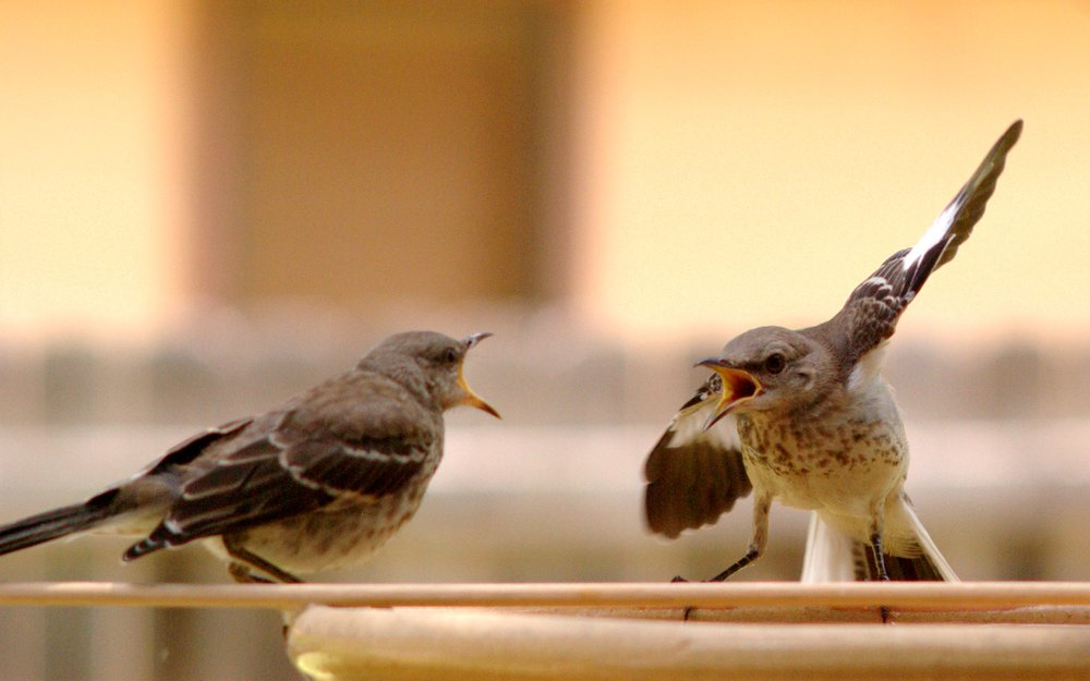 Source:  http://commons.wikimedia.org/wiki/File:Mocking_Bird_Argument.jpg