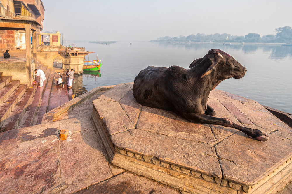Holy cow welcomes dawn on the banks of the river Yamuna