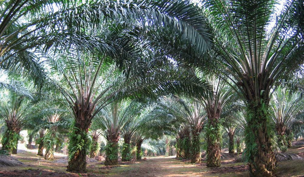 An oil palm plantation in Sabah province, Borneo.