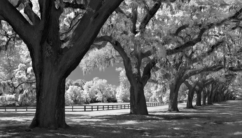 Oaks and Fence