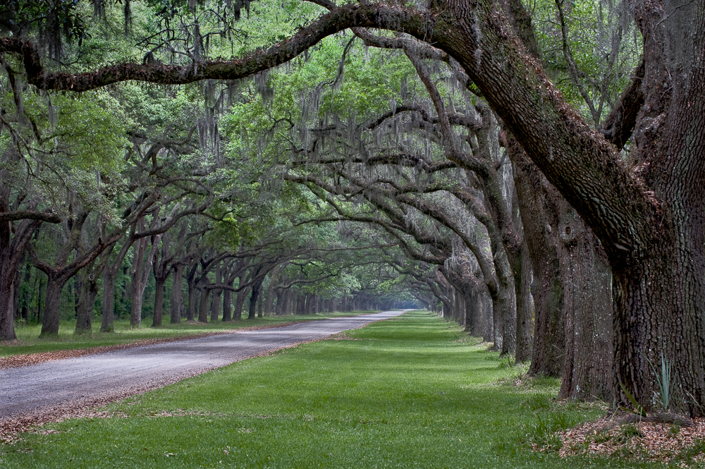 Avenue of Oaks I